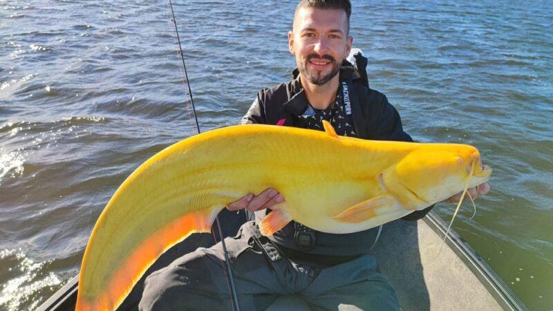 Pescador alemão captura raro bagre amarelo na Holanda